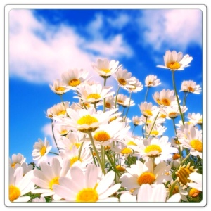 Daisies and Blue Sky